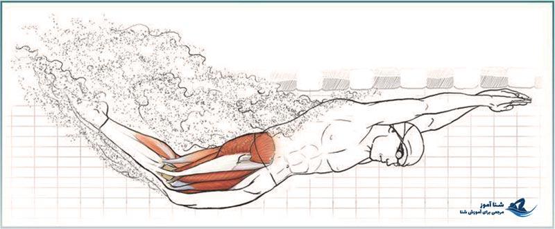 تقویت عضلات و آناتومی در شنا | شناآموز
